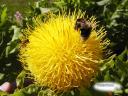 Beesonyellowflower